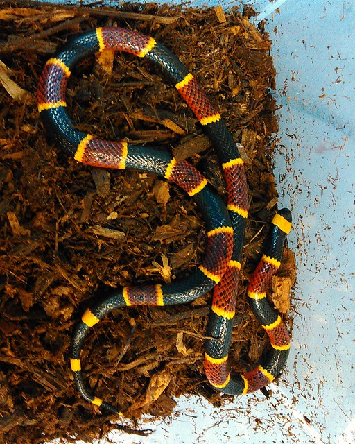 Coral Snake Definition/meaning