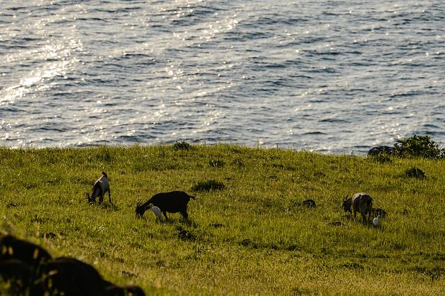青青草原與山羊