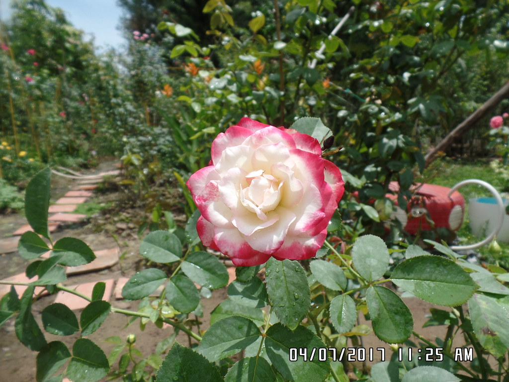 hong ngoai cherry parfait rose (6)