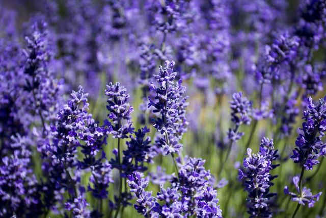 Lavender flowers in bloom, Oregon