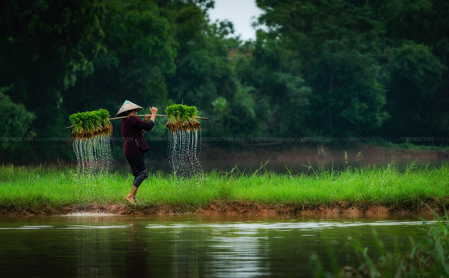Farmers grow rice in the rainy season. They were soaked with water and mud to be prepared for planting. wait three months to harvest crops.