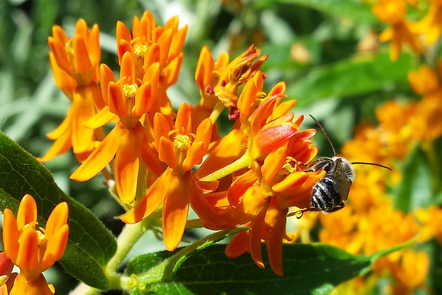 longhorn bee facing away so the head isn't visible