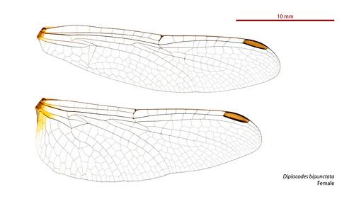 Diplacodes bipunctata female wings