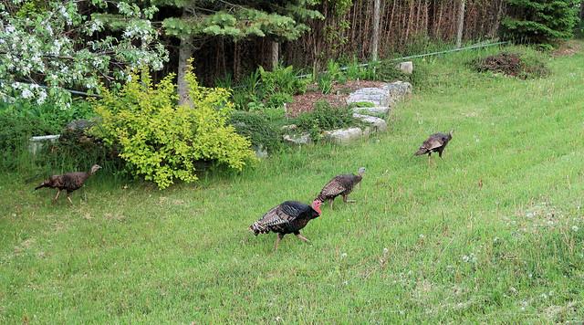 20170603195641034 Wild Turkey (Meleagris gallopavo) - Manitoulin Island