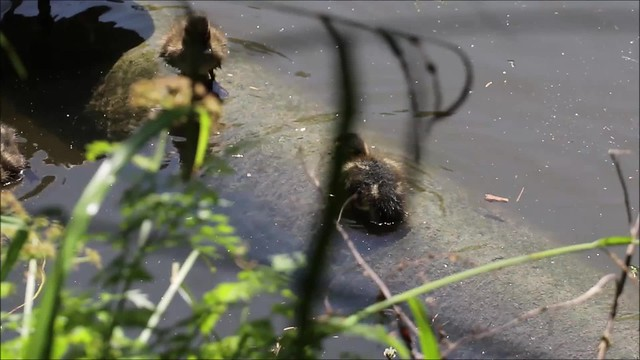 Ducklings in Chiswick Park