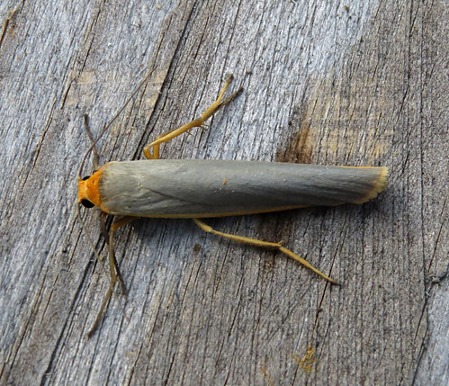 Scarce Footman Eilema complana Tophill Low NR, East Yorkshire July 2017