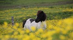 Shetland ponies (2 of 2)