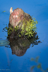 Cypress Knee Reflection
