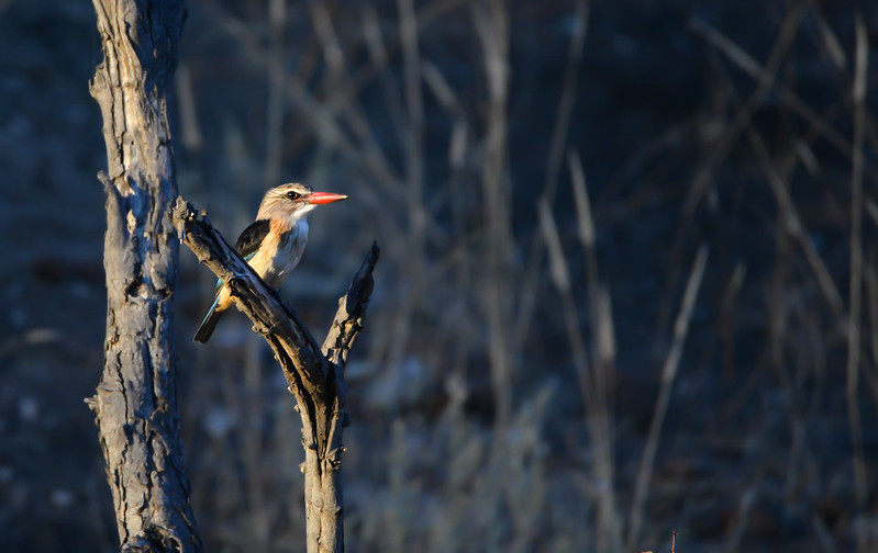 582 Brown Hooded Kingfisher