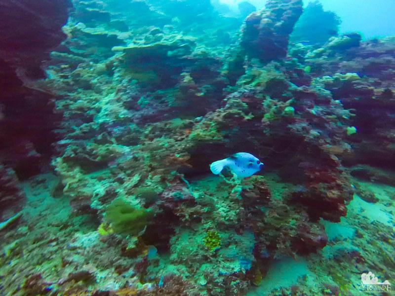 Small pufferfish