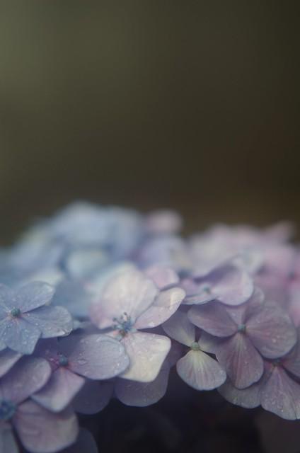 紫陽花/The color of June, Pentax K-50, smc PENTAX-DA 35mm F2.4 AL