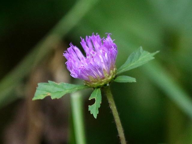 Brazilian Button Flower (Centratherum punctatum), Saltos del Monday, Hernandarias, Paraguay, 3-27-17