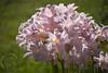pinklilies18