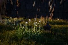Wild Iris and Rust