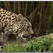 Raubkatzen Kölner Zoo von Nicco27