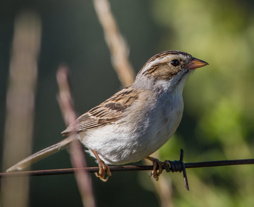 claycoloredsparrow sparrow claycolouredsparrow spizellapallida spizella americansparrow emberizidae nigelje whitelake