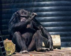 Chimpanzee Monkey World 8th April 2017 #7
