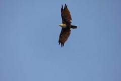 कृष्ण गरुढ Brahminy kite (Haliastur indus)