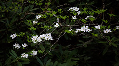 Dogwood blossoms #2