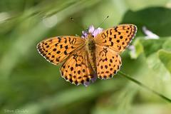 Twin-Spot Fritillary