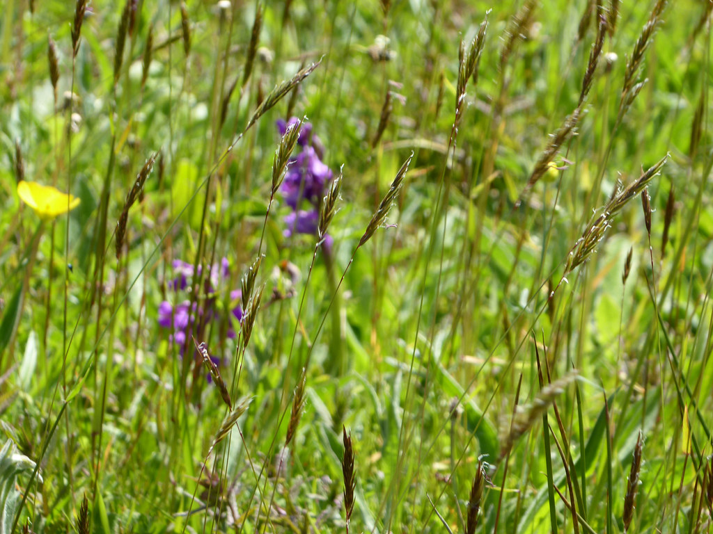 Meadow with orchids 7 reduced
