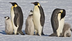Emperor penguins at Snow Hill