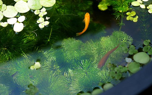 メダカの撮影方法 ピンボケ ブレる 動きが早い 水面が反射 PLフィルター ラバーフード