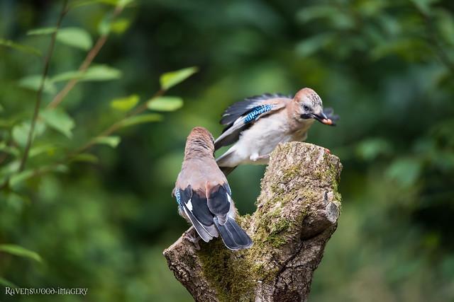 millers-wood-july-2017-bird-Jay-4, Nikon D810, Sigma 150-600mm F5-6.3 DG OS HSM | S