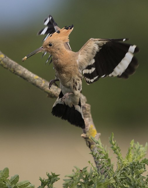 Hoopoe homecoming, Canon EOS 5DS R, Canon EF 500mm f/4L IS II USM