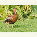 Dendrocygna autummalis -  Black-bellied whistling duck por J. Amorin