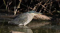 Green-backed heron (Striated heron), Butorides striata, at Walter Sisulu National Botanical Garden, Gauteng, South Africa