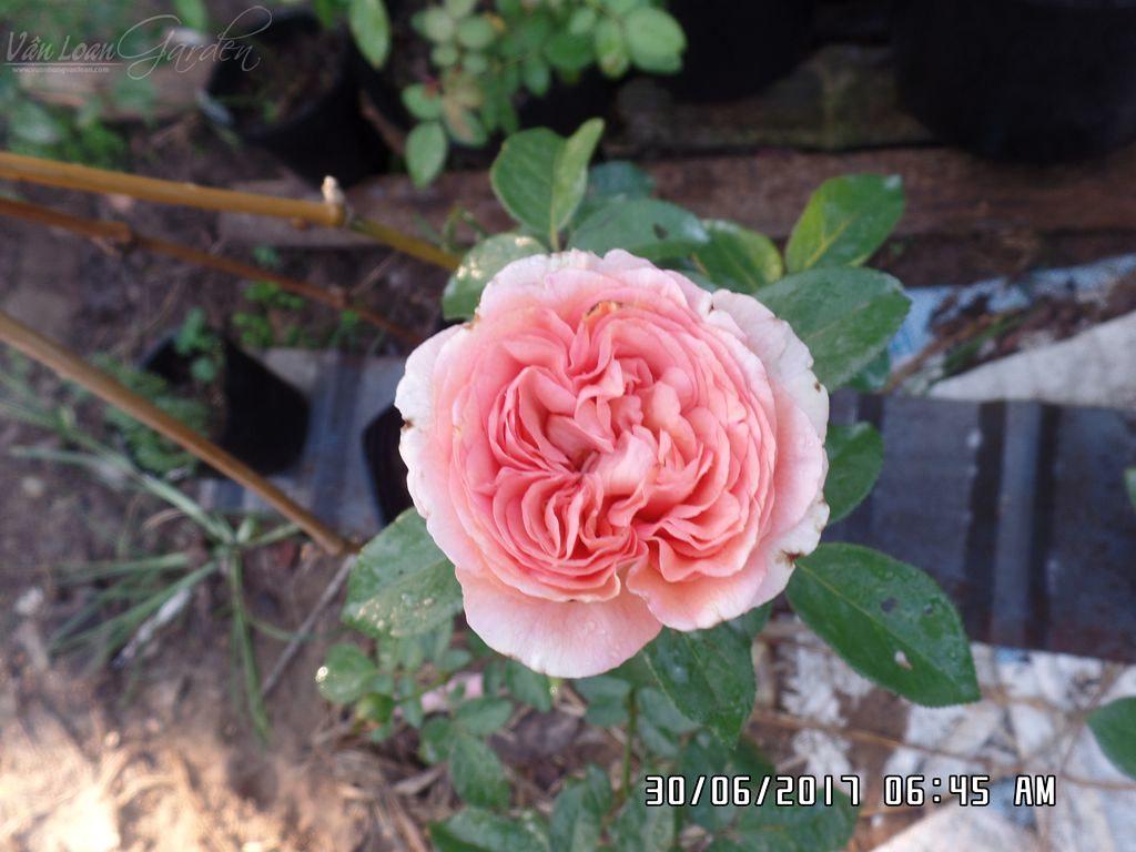 Form hoa hồng 'Voyage ®' rose