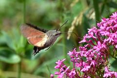 The Hummingbird Hawkmoth ... Macroglossum stellatarum