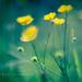 Buttercups in the Breeze {Velvet 85} by DefinitelyDreaming