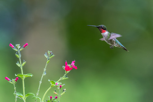 male wildlife flight nature bird palmyracovenaturepark bif rubythroatedhummingbird hummingbird salvia flower red palmyra newjersey unitedstates us nikon d500