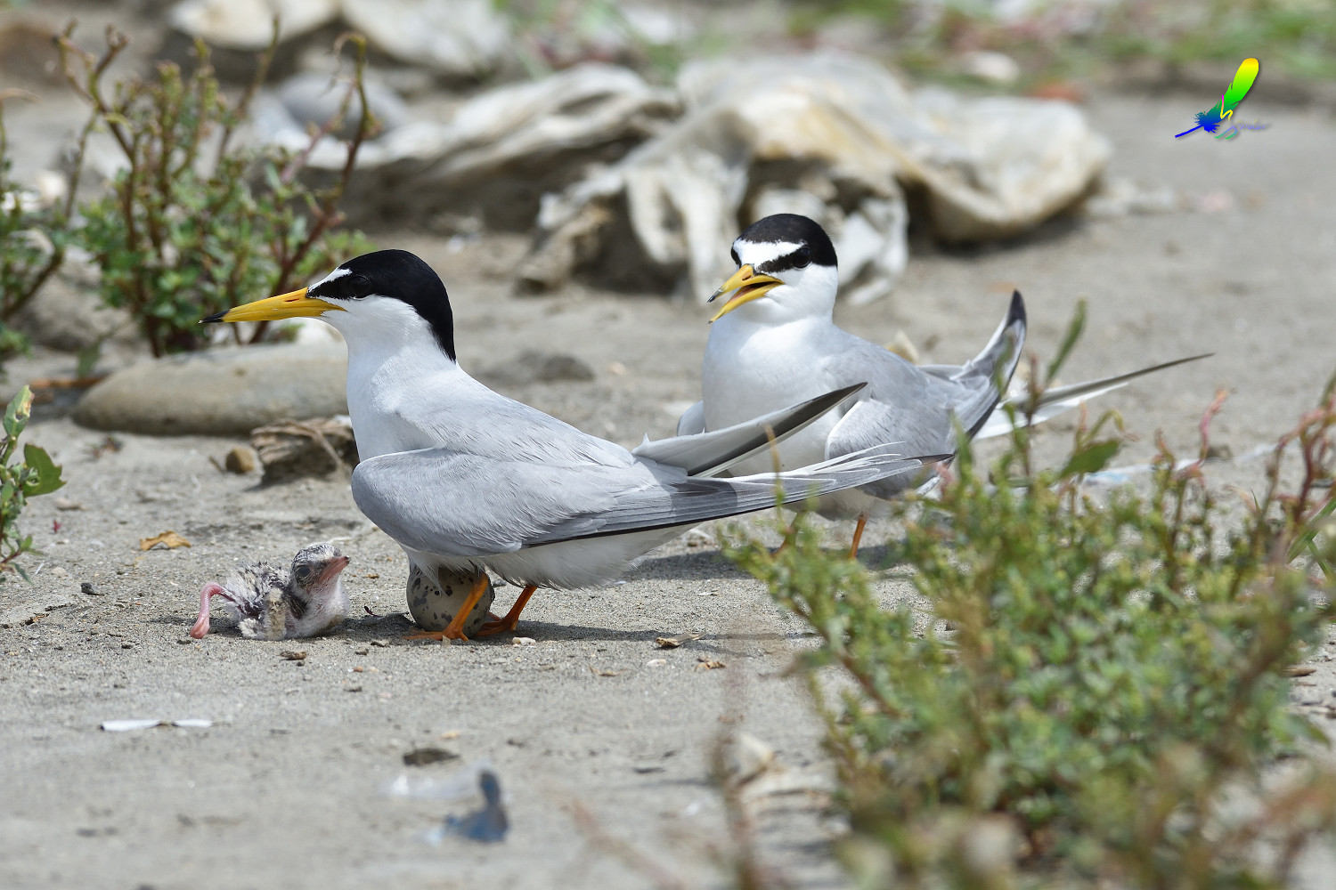 Little_Tern_8887