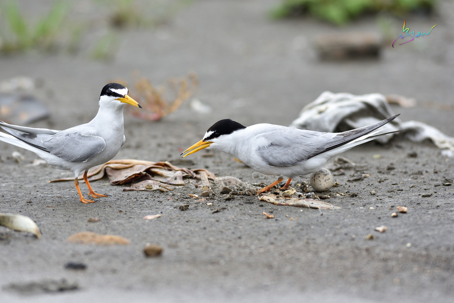 Little_Tern_4253