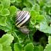 Brown-lipped garden snail by .JCM.