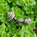 Brown-lipped garden snails (3) by .JCM.