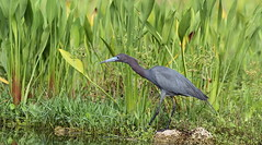 Little Blue Heron- Holiday, Florida