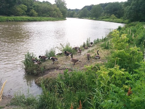 Canada geese by the shore (1)
