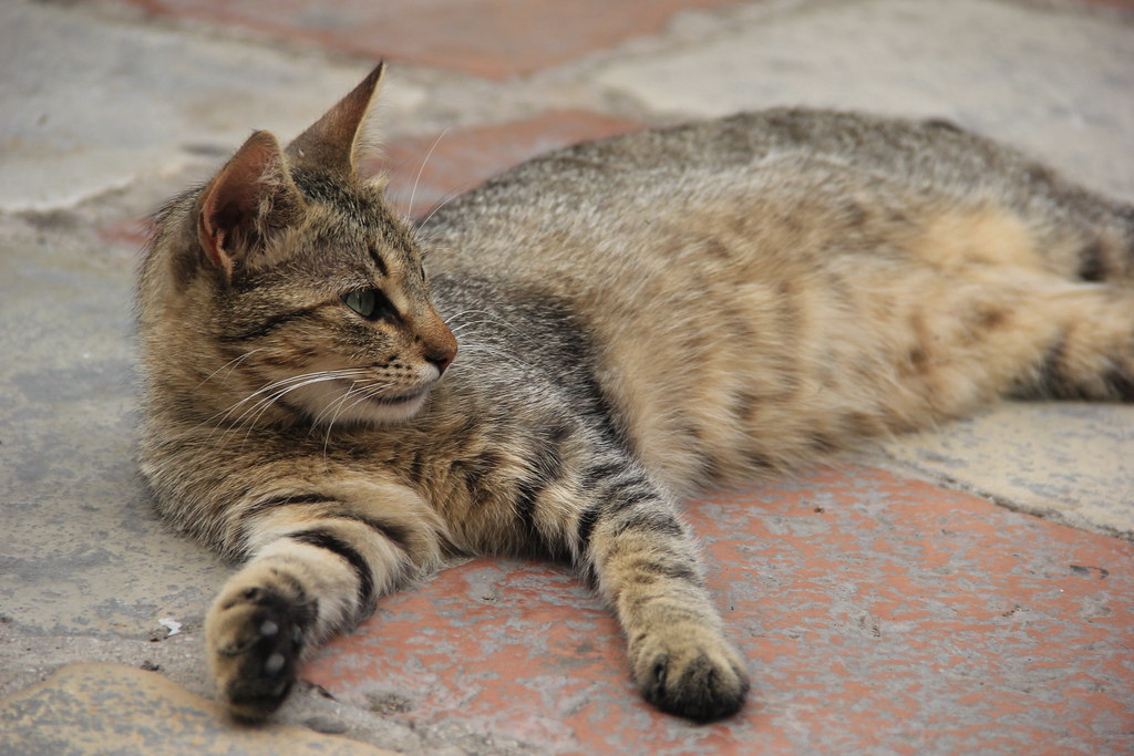 Cats of Kotor