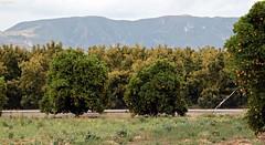 Santa Clara Orange Trees