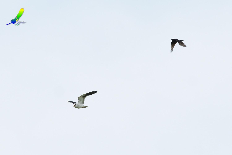 Black-winged_Kite_1722