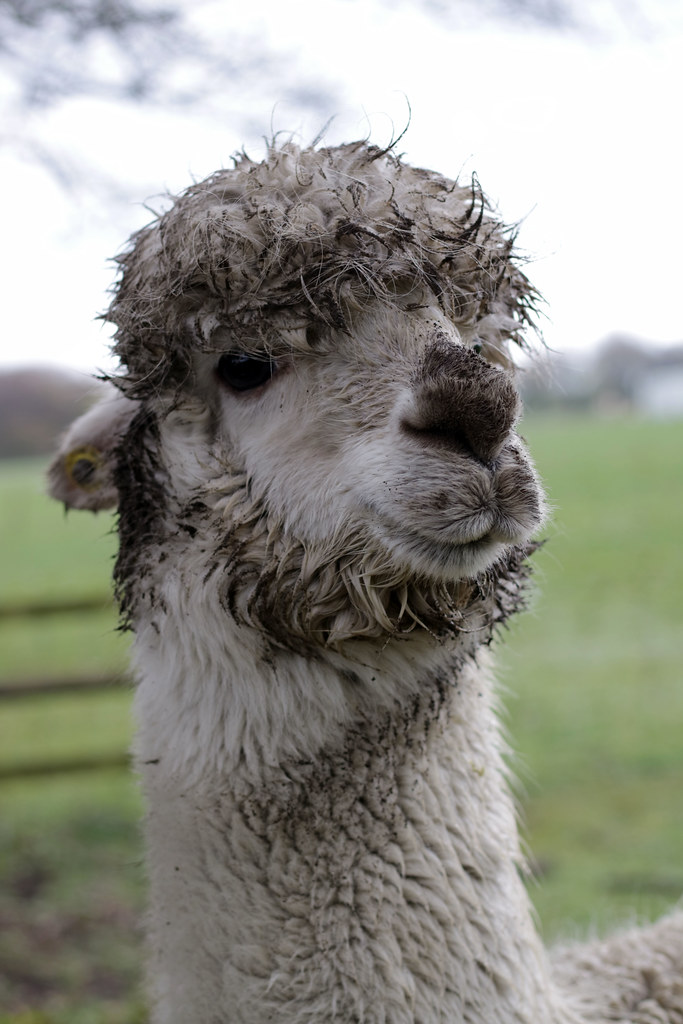 Muddy Alpaca But Happy