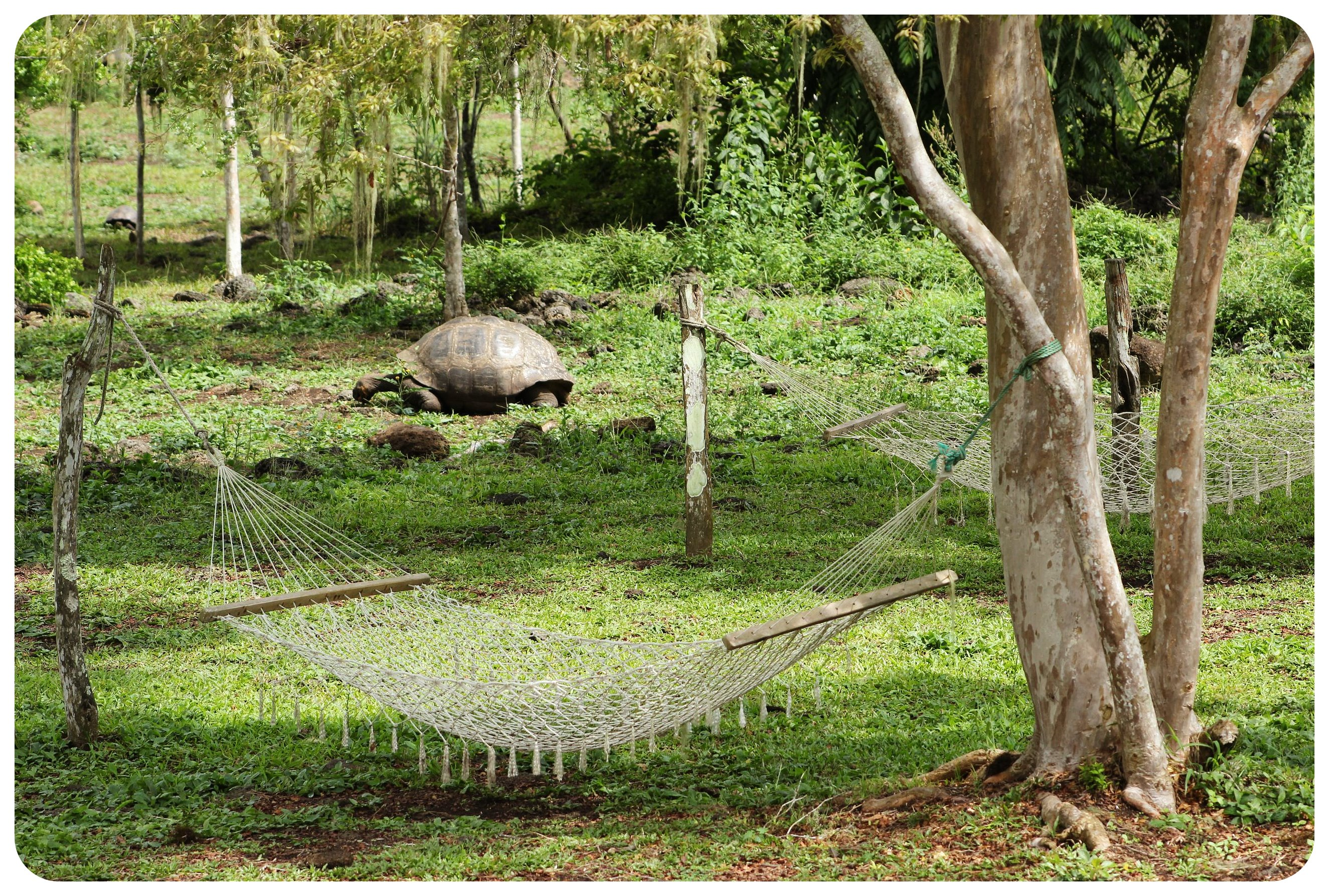 galapagos island hammock tortoise