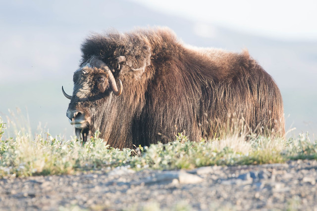 Muskox 1, Canon EOS 7D MARK II, Canon EF 400mm f/4 DO IS