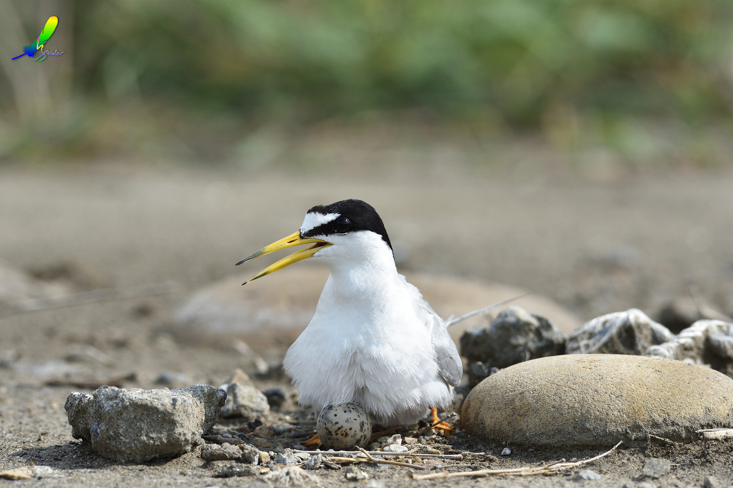 Little_Tern_6758