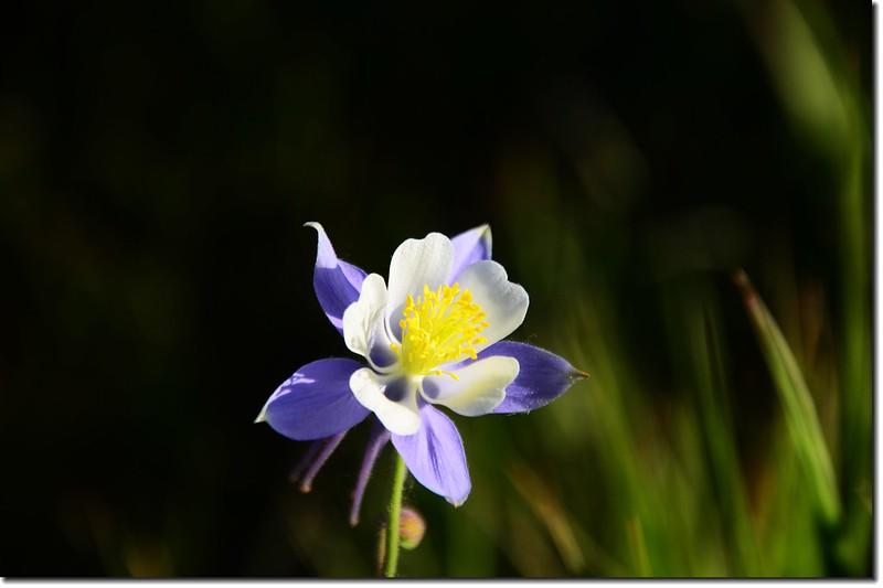 營地野花~Columbine 1