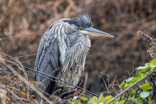 Hendrickson Park: Great Blue Heron as Curmudgeon